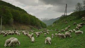 Eine Herde der Schafe stock video footage