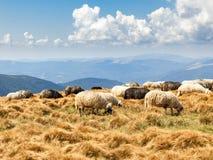 Eine Herde der Schafe stockfotografie