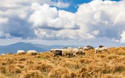 Eine Herde der Schafe lizenzfreie stockfotografie