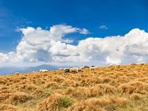 Eine Herde der Schafe lizenzfreies stockfoto