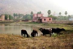 Eine Herde des Büffels an der Wasserstelle Lizenzfreies Stockbild