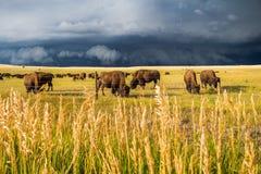 Eine Herde des Bisons lassen auf den sonnenbeschienen Ebenen weiden, während ein dunkler Sturm sich nähert lizenzfreie stockfotos