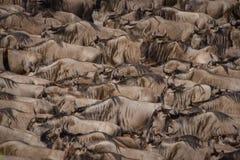 Eine Herde des Gnuaufbaus der Mut, über dem Nil während der Gnumigration zu schwimmen stockbild