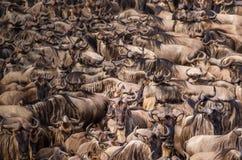 Eine Herde des Gnuaufbaus der Mut, über dem Nil während der Gnumigration zu schwimmen, eine Einzelperson betrachtet t lizenzfreie stockfotografie