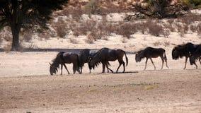 Eine Herde des Gnus bewegend entlang ein trockenes Flussbett im Grenzpark Kgalagadi zwischen Namibia und Südafrika lizenzfreies stockbild