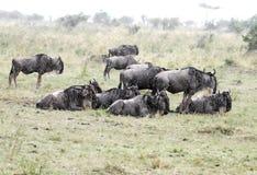Eine Herde des Gnus den Regen genießend Lizenzfreies Stockfoto