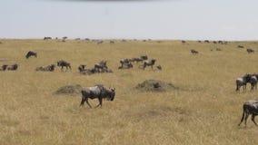 Eine Herde des Gnus gelbes Gras in der Savanne des Masais Mara weiden lassend stock video footage