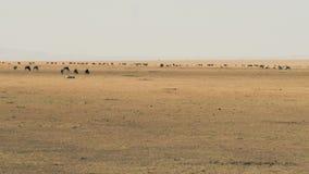 Eine Herde des Gnus weiden lassend in der Savannah Of Masai Mara Before-Migration stock video