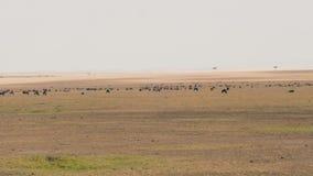 Eine Herde des Gnus weiden lassend in der Savannah Of Masai Mara Before-Migration stock video footage