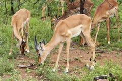Eine Herde des jungen Impala weiden lassend Stockfoto