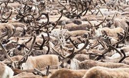 Eine Herde des Rens stockbild
