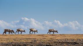 Eine Herde des Rens ist Trekking über der Wiese in Südosten I Lizenzfreies Stockbild