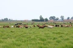 Eine Herde des Viehs lassen weiden Stockfotografie
