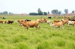 Eine Herde des Viehs lassen weiden Stockbild