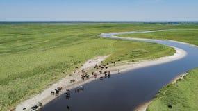 Eine Herde des Viehs nahe dem Fluss Stockfotografie