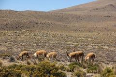 Eine Herde des wilden Vicunjas lässt weiden lizenzfreie stockfotos