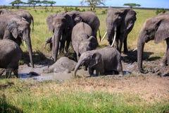 Eine Herde von Afrikaner-Bush-Elefanten, der ein Schlammbad hat Stockfotos