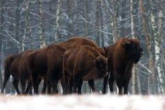 Eine Herde von Aurochs Bison bonasus, das auf dem Winterfeld steht einiges großer brauner Bison auf dem Waldhintergrund Europäisc stockbild