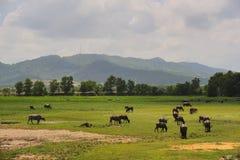 Eine Herde von Büffel ` s Weide Lizenzfreie Stockfotos