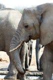 Eine Herde von den afrikanischen Elefanten, die an einem schlammigen waterhole trinken Stockfotografie