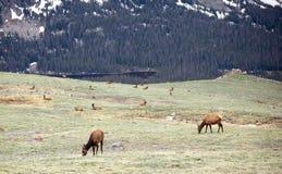 Eine Herde von den Elchen, die auf einer Alpenwiese bei Rocky Mountain National Park in Colorado weiden lassen stockfotografie