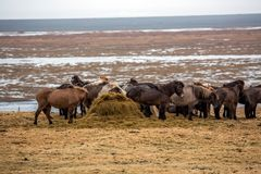Eine Herde von den isl?ndischen Pferden, die auf Wiese essen lizenzfreie stockfotos