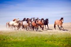 Eine Herde von den jungen Pferden sehr, die schnell laufen Stockbilder