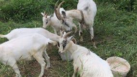 Eine Herde von den jungen Ziegen, die in einer Weide weiden lassen Getränkwasser von einem Eimer Weg unter dem hohen Gras Ziegen  stock video footage