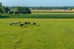 Eine Herde von den Kühen, die über eine grüne Wiese laufen stockfoto