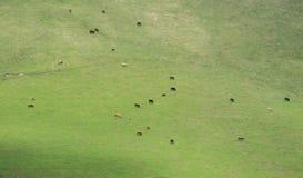 Eine Herde von den Kühen, die auf dem Abhang weiden lassen Berglandschaft mit Kühen Sommerweide in Georgia lizenzfreies stockbild