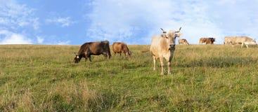 Eine Herde von den Kühen, die auf einem Hügel der Gebirgsgrünwiese weiden lassen Stockfoto