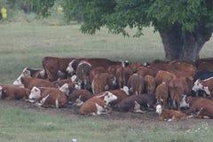 Eine Herde von den Kühen, die im Schatten unter einem Baum nachdem dem Weiden lassen liegen Gestalten Sie mit Kühen auf einer Wie Lizenzfreie Stockbilder