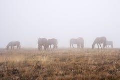 Eine Herde von den Pferden, die an einem nebeligen Herbstmorgen weiden lassen stockbilder
