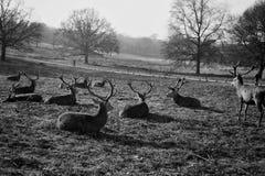 Eine Herde von den Rotwild, die auf einem Gebiet stillstehen stockbild