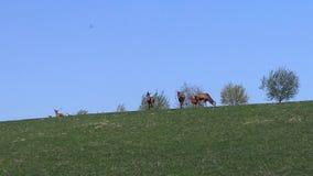 Eine Herde von den Rotwild, die im Frühjahr auf einer grünen Wiese weiden lassen Wilde Tiere in der Gefangenschaft Erhaltung der  stock video