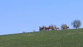 Eine Herde von den Rotwild, die im Frühjahr auf einer grünen Wiese weiden lassen Wilde Tiere in der Gefangenschaft Erhaltung der  stock video footage