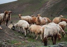 Eine Herde von den Schafen und von Ziegen, die in den Bergen weiden lassen Lizenzfreies Stockfoto