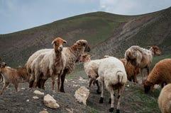 Eine Herde von den Schafen und von Ziegen, die in den Bergen weiden lassen Lizenzfreie Stockfotos