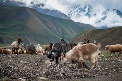 Eine Herde von den Schafen und von Ziegen, die in den Bergen weiden lassen Stockbilder