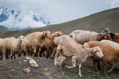 Eine Herde von den Schafen und von Ziegen, die in den Bergen weiden lassen Lizenzfreies Stockbild
