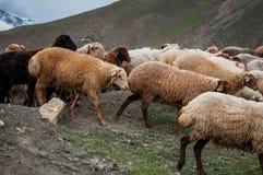 Eine Herde von den Schafen und von Ziegen, die in den Bergen weiden lassen Stockfoto