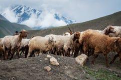 Eine Herde von den Schafen und von Ziegen, die in den Bergen weiden lassen Stockbild