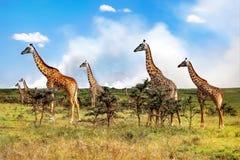 Eine Herde von Giraffen in der afrikanischen Savanne auf dem Wolkenhintergrund Nationalpark Serengeti tanzania stockfotografie