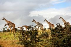 Eine Herde von Giraffen in der afrikanischen Savanne Serengeti-Staatsangehöriger lizenzfreies stockbild