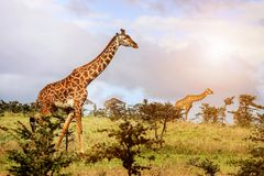 Eine Herde von Giraffen in der afrikanischen Savanne Serengeti-Staatsangehöriger lizenzfreies stockfoto