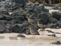 Eine Herde von großen Brachvögeln Lizenzfreie Stockbilder