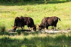 Eine Herde von jungem Gaur und indo-chinesischer von ?hrentr?gerpfauf?tterung Frischwasser auf dem Gebiet Huai Kha Kaeng Wildlife lizenzfreies stockbild