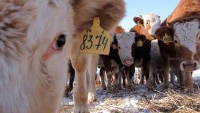 Eine Herde von jungen Kühen stock video footage