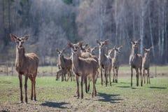 Eine Herde von jungen Rotwild in der Reserve Lizenzfreies Stockbild