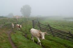 Eine Herde von Kühen auf dem Gras in der Landschaft Stockfotos